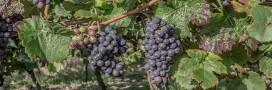 Vendanges: toujours autant de pesticides dans les vignes