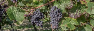 Vendanges : toujours autant de pesticides dans les vignes