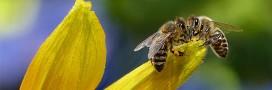 Nouvelle année catastrophique pour la production de miel