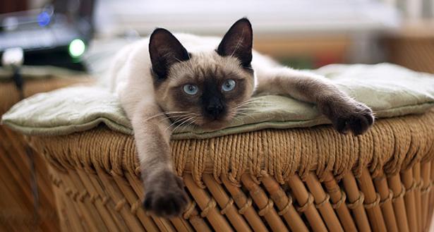 litière écolo chat siamois