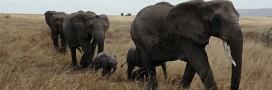 Les éléphants d'Afrique toujours en voie de disparition !