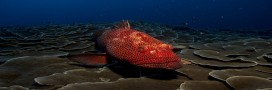 Environnement: le mérou revient en Méditerranée après 30 ans