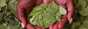 Gardez la forme grâce au Moringa oleifera