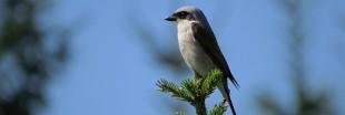 Les oiseaux nicheurs sont de plus en plus menacés en France