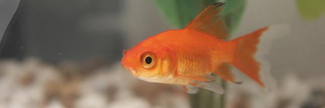 Ne relâchez pas votre poisson rouge dans une rivière !