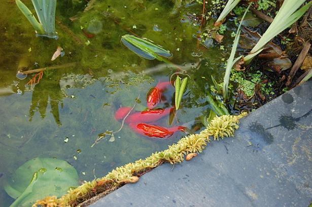 poissons rouges, frai, étang, rivière