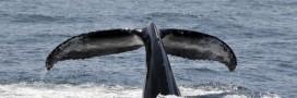 La CBI refuse la création d'un sanctuaire baleinier