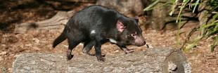 Le diable de Tasmanie au secours des antibiotiques