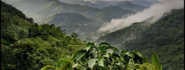 En Colombie, sur la route de l\'or vert