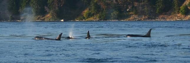 Une puce satellite cause la mort d'une orque et pose de sérieuses questions