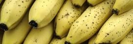 La banane va t-elle disparaître?