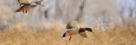 Un cas de grippe aviaire confirmé dans le Pas-de-Calais