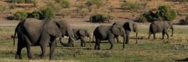De plus en plus d'éléphants naissent sans défenses