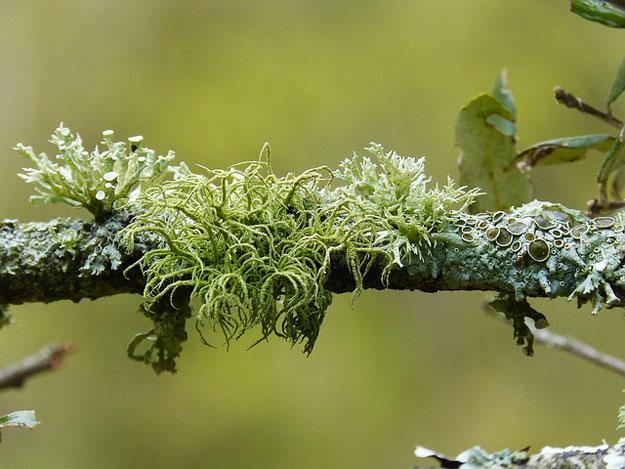 lichens-mousse-climat