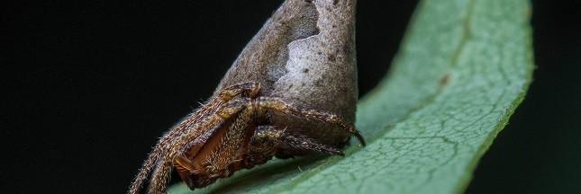 Une araignée baptisée Gryffondor en hommage à Harry Potter