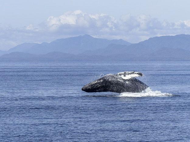 baleiniers-baleine-japon