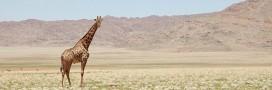 La girafe, nouvelle espèce animale menacée