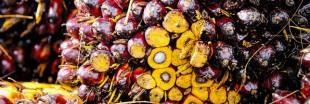 Les scandales de la production d'huile de palme