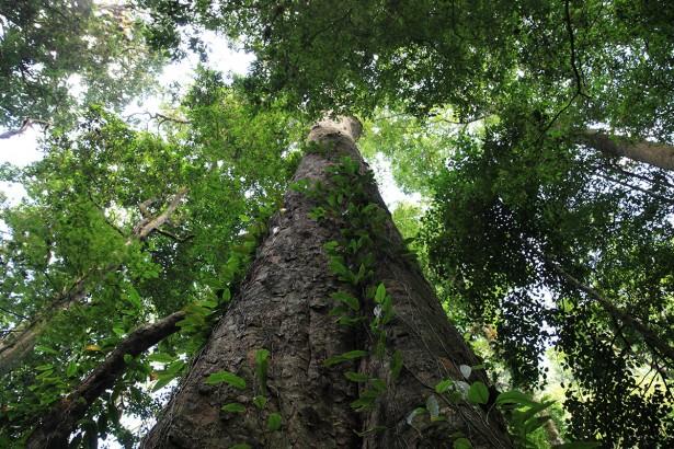 plus grand arbre afrique