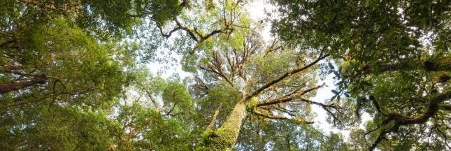 Incroyables découvertes : les plus grands arbres du monde