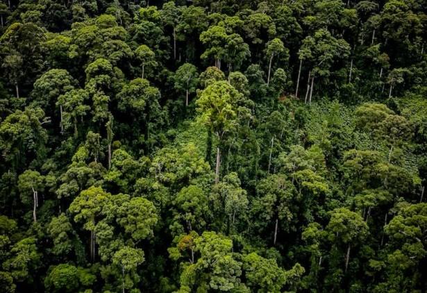 plus grand arbre tropical