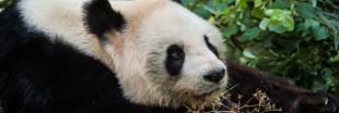Pan Pan, le plus vieux panda du monde est mort en Chine