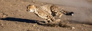 Le guépard : un animal en voie d'extinction