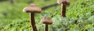 Cancer : les champignons hallucinogènes bons pour le moral