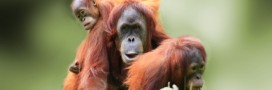 Deux orangs-outans sauvés grâce à l'application WhatsApp