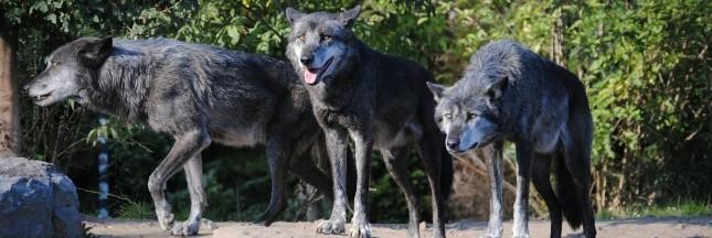 Norvège : l'abattage massif des loups est annulé