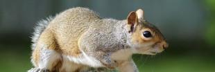 Pannes de courant: les écureuils plus dangereux que les hackers