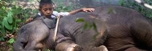 Birmanie : des trafics pour la peau des éléphants