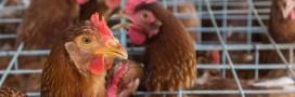 Les Mousquetaires s'engagent contre les oeufs de poules élevées en cage
