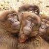 Les singes, une espèce à l'avenir incertain ?