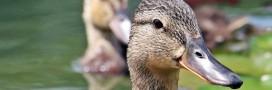 Grippe aviaire: abattage massif de canards pour endiguer l'épidémie