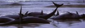 Baleines échouées: pourquoi tant de cétacés finissent en masse sur les plages?