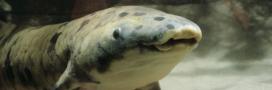 Granddad, le plus vieux poisson en captivité, euthanasié à Chicago