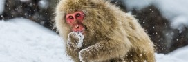 Japon: des singes tués par un zoo pour protéger l'espèce indigène 'Nihonzaru'