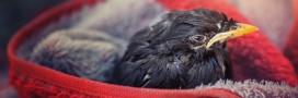 Le plus grand centre de soins pour animaux, Volée de Piafs, va fermer ses portes