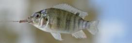 Aquaculture: des dérives dénoncées par l'ONG Bloom