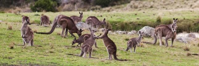 L'Australie va-t-elle abattre 1 million de kangourous ?