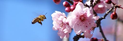 Fin des abeilles = fin du monde?