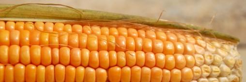 maïs USA