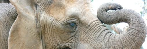 éléphants victimes du braconnage