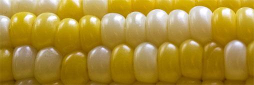 La polémique sur les OGM plus que jamais d'actualité