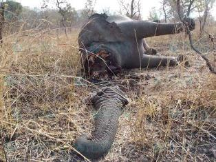 elephant-braconnage