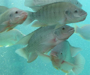 photo : cichlid.umd.edu