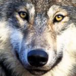 Liberté surveillée pour le loup