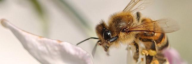 Pesticides et abeilles : l'UE doit se décider