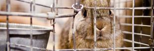 Souffrance animale : le lapin français se rebiffe
